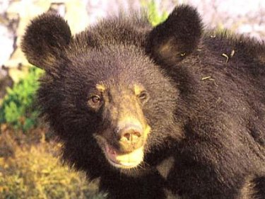 asiatic black bears bears of the world