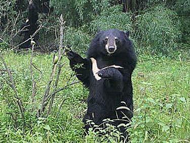 asiatic_bear_04.jpg