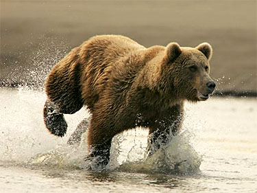 Russian Brown Bear