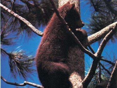 Cinnamon Cub In Tree