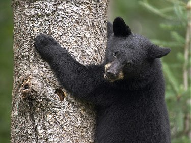 Formosan Cub In Tree