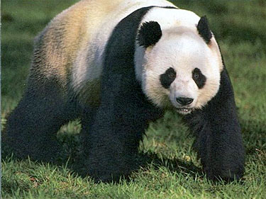 Giant Panda Bears - Bears Of The World - photo#10