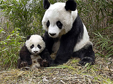 Giant panda bears do not
