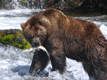 Alaskan Grizzly Bear fishing