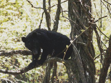 Japanese Black Bear in Tree