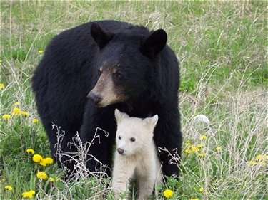 Kermode Mother and Cub
