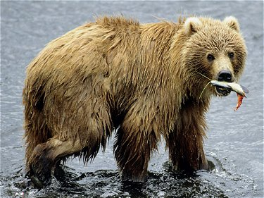 Kodiak bear fishing