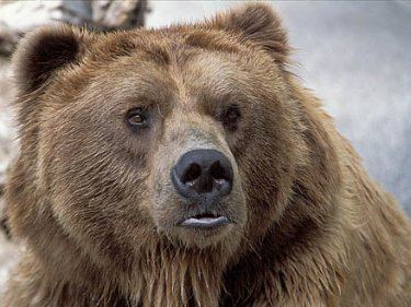 Kodiak bear portrait