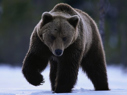 Siberian Brown Bear