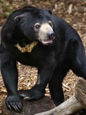 Malayan Sun Bears - Bears Of The World