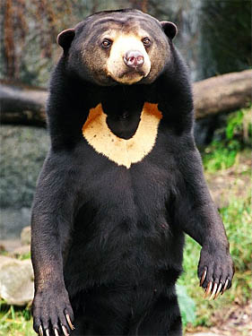 Malayan Sun Bears - Bears Of The World