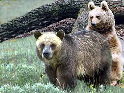Syrian Brown Bears